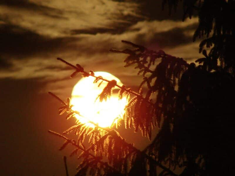A Spruce with the sun in the background